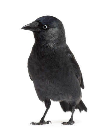 Western Jackdaw Corvus monedula, (or Eurasian Jackdaw, or European Jackdaw or simply Jackdaw) against white background photo