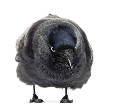 Western Jackdaw bending and looking down, Corvus monedula, (or Eurasian Jackdaw, or European Jackdaw or simply Jackdaw) against white background photo