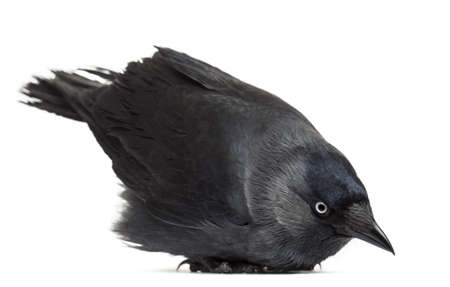 Western Jackdaw lying and looking down, Corvus monedula, (or Eurasian Jackdaw, or European Jackdaw or simply Jackdaw) against white background photo