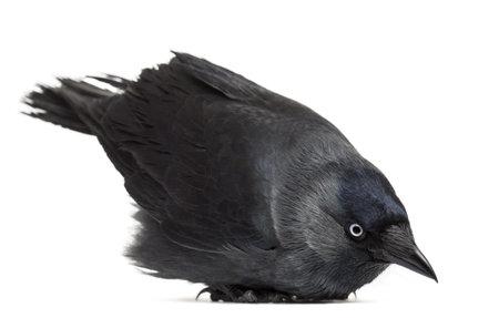 jackdaw: Western Jackdaw lying and looking down, Corvus monedula, (or Eurasian Jackdaw, or European Jackdaw or simply Jackdaw) against white background
