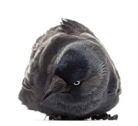Western Jackdaw lying and looking down, Corvus monedula, (or Eurasian Jackdaw, or European Jackdaw or simply Jackdaw) against white background Stock Photo - 16486882