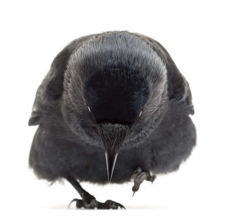 monedula: Western Jackdaw walking and looking down, Corvus monedula, (or Eurasian Jackdaw, or European Jackdaw or simply Jackdaw) against white background Stock Photo