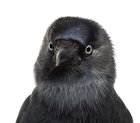Close-up Western Jackdaw, Corvus monedula, (or Eurasian Jackdaw, or European Jackdaw or simply Jackdaw) against white background photo
