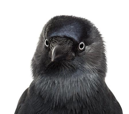 jackdaw: Close-up Western Jackdaw, Corvus monedula, (or Eurasian Jackdaw, or European Jackdaw or simply Jackdaw) against white background