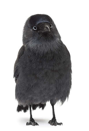 Western Jackdaw looking away, Corvus monedula, (or Eurasian Jackdaw, or European Jackdaw or simply Jackdaw) against white background Stock Photo - 16486520