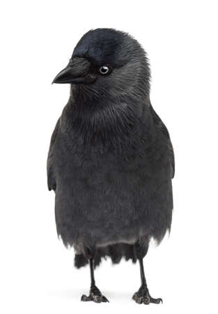 Western Jackdaw looking left and down, Corvus monedula, (or Eurasian Jackdaw, or European Jackdaw or simply Jackdaw) against white background photo