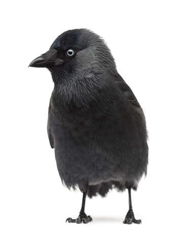 Western Jackdaw Corvus monedula, (or Eurasian Jackdaw, or European Jackdaw or simply Jackdaw) against white background Stock Photo - 16486385