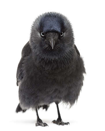 Western Jackdaw portrait, Corvus monedula, (or Eurasian Jackdaw, or European Jackdaw or simply Jackdaw) against white background photo