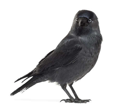 Western Jackdaw looking away, Corvus monedula, (or Eurasian Jackdaw, or European Jackdaw or simply Jackdaw) against white background photo