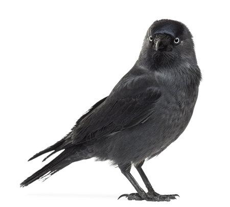 jackdaw: Western Jackdaw looking away, Corvus monedula, (or Eurasian Jackdaw, or European Jackdaw or simply Jackdaw) against white background
