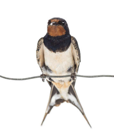 Barn Swallow, Hirundo rustica, perched on a wire against white background Stock fotó