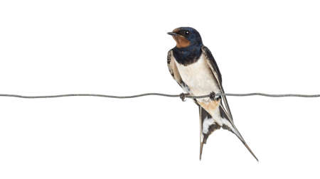 birds on a wire: Barn Swallow, Hirundo rustica, perched on a wire against white background Stock Photo