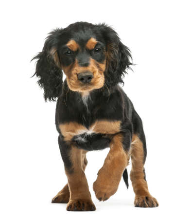 cocker spaniel: Working Cocker Spaniel, 10 weeks old, looking at camera against white background Stock Photo