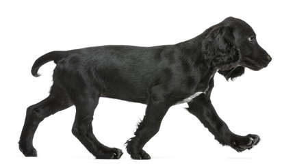 one dog: Side view of Working Cocker Spaniel walking against white background Stock Photo
