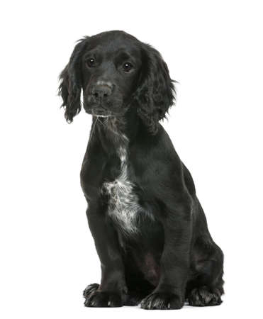 Working Cocker Spaniel sitting against white background photo