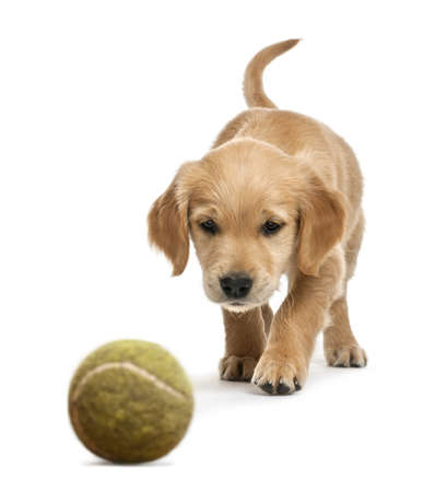 golden retriever puppy: Golden retriever puppy, 7 weeks old, walking towards tennis ball against white background
