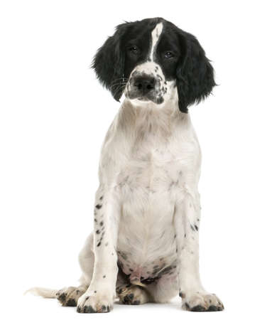 springer: English Springer Spaniel sitting and looking at camera against white background
