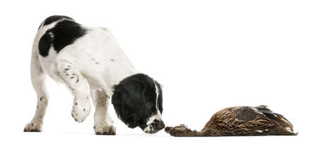 dead animal: English Springer Spaniel sniffing dead duck against white background Stock Photo