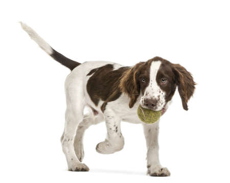 springer: English Springer Spaniel walking with tennis ball in its mouth against white background