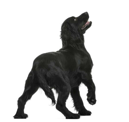 Back view of a Working Cocker Spaniel looking up against white background photo