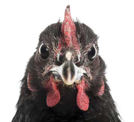 Close-up of an Australorp, 5 months old, against white background Stock Photo - 16486547