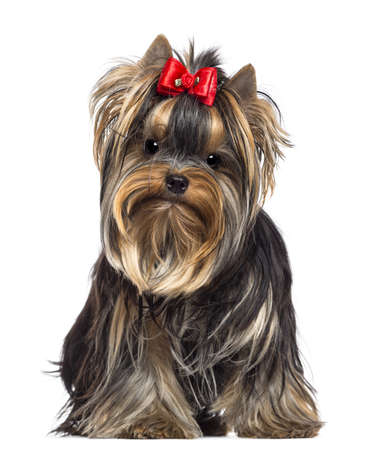 yorkshire terrier: Yorkshire Terrier, 8 months old, sitting and looking at camera against white background