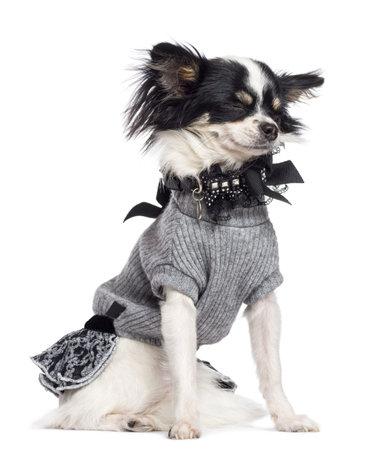 perros vestidos: Chihuahua, 3,5 años de edad, sentado contra el fondo blanco