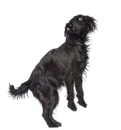griffon bruxellois: Side view of Griffon Bruxellois, 2 years old, standing on hind legs and looking up against white background