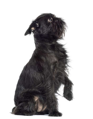 griffon bruxellois: Griffon Bruxellois, 2 years old, sitting with paw up against white background