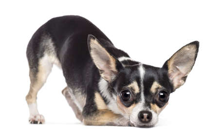 Chihuahua, 2 years old, looking at camera against white background Stock Photo - 16486941