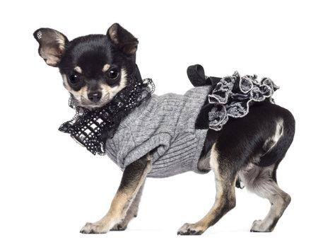 perros vestidos: Chihuahua, 3 a�os de edad, vestido y mirando a la c�mara contra el fondo blanco Foto de archivo