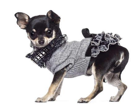 jumpers: Chihuahua, 3 years old, dressed and looking at camera against white background Stock Photo