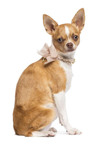 animal themes: Chihuahua, 7 months old, wearing lace collar, sitting and looking at camera against white background Stock Photo