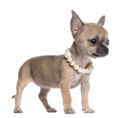 Chihuahua puppy, 4 months old, wearing pearl necklace and looking away, against white background