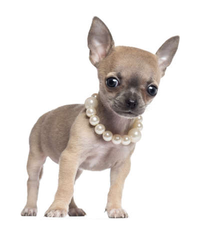 chihuahua puppy: Chihuahua puppy, 4 months old, wearing pearl necklace and looking at camera, against white background