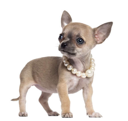 opulence: Chihuahua puppy, 4 months old, wearing pearl necklace and looking away, against white background