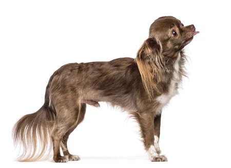 Side view of Chihuahua standing and sticking its tongue out against white background Stock Photo