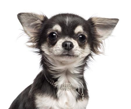 cane chihuahua: Close-up di Chihuahua guardando fotocamera su sfondo bianco Archivio Fotografico