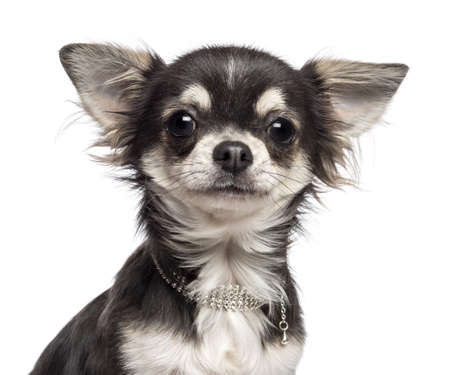 chihuahua: Close-up of Chihuahua looking at camera against white background