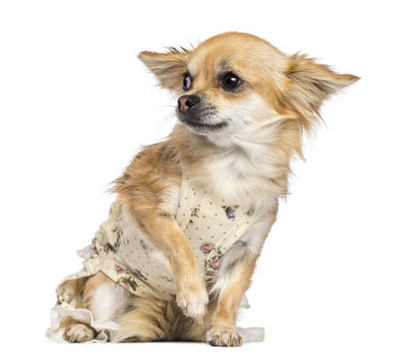 Fearful Chihuahua, 1 year old, dressed, sitting and looking away against white background Stock Photo - 16773719