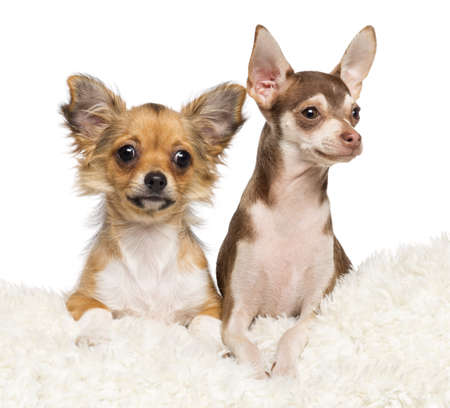 Chihuahua puppies, 4 months old and 5 months old, lying on white fur against white background photo