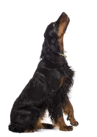 sitting up: Side view of Gordon Setter, 1 year old, sitting and looking up against white background