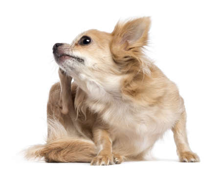 Chihuahua scratching against white background Stock Photo - 16773732