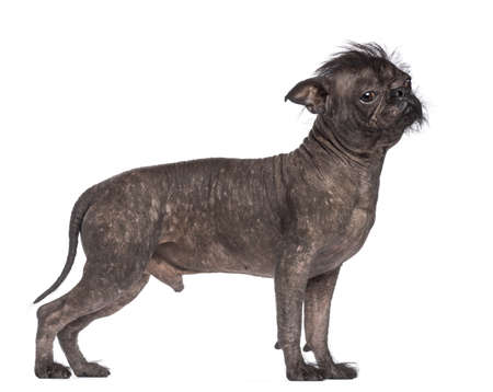 animal themes: Hairless dog, mix between French bulldog and Chinese Crested Dog, against white background Stock Photo