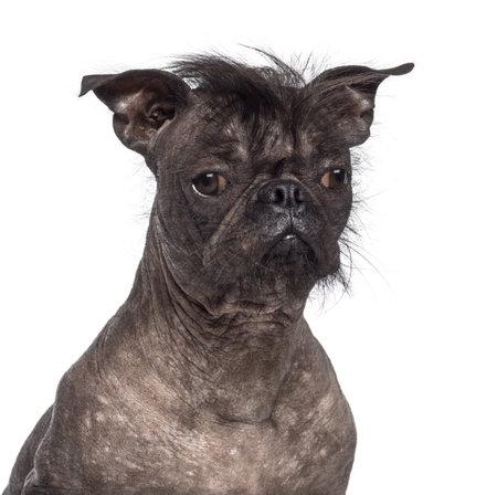 one animal: Hairless dog, mix between French bulldog and Chinese Crested Dog, against white background Stock Photo