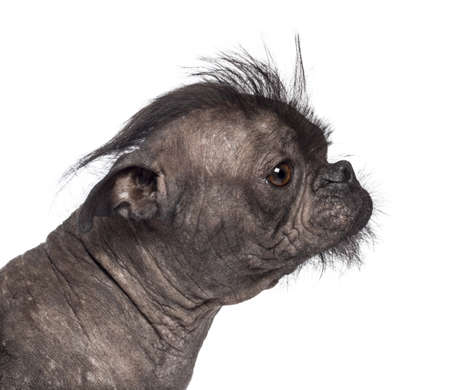 Hairless dog, mix between French bulldog and Chinese Crested Dog, against white background photo