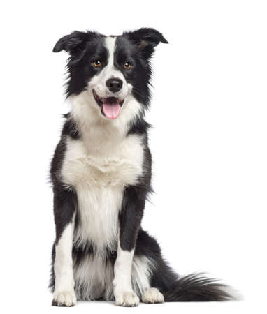 sitting dog: Border Collie, 1.5 years old, sitting and looking away against white background