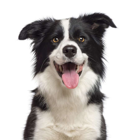 dog white background: Close-up of Border Collie, 1.5 years old, looking at camera against white background Stock Photo