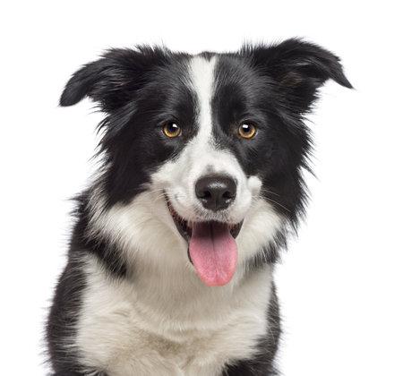 tete chien: Gros plan sur Border Collie, 1,5 ans, regardant la cam�ra sur fond blanc Banque d'images