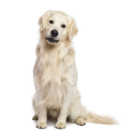 white background: Golden retriever sitting and looking at camera against white background